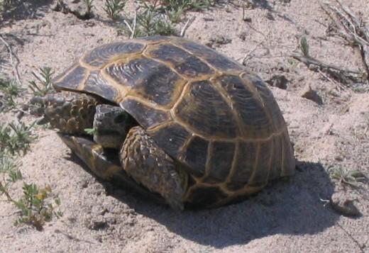 Kazakhstan Fauna - Agrionemys_horsfieldii