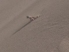 Singing Sand Fauna