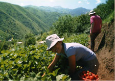 Strawberry Picking in Almaty
