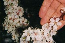 Apricot Blossom in Almaty